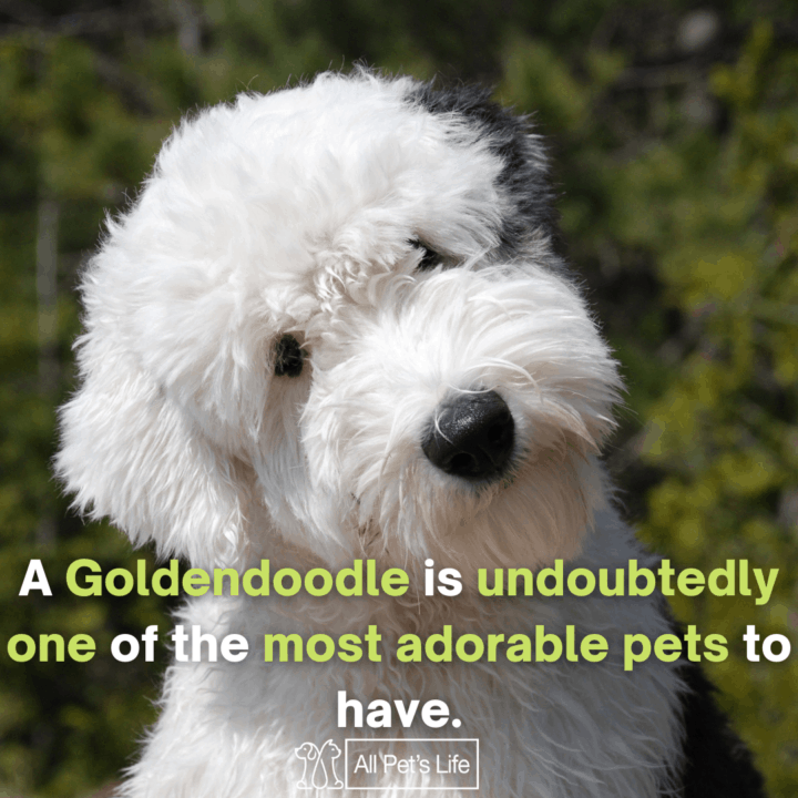 goldendoodle sitting on the grass