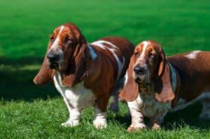 basset hound how long do dogs live