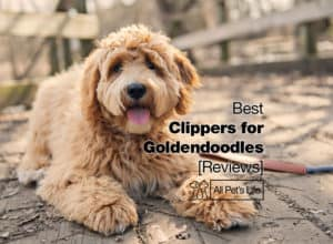 Read more about the article 10 Best Clippers for Goldendoodles Reviews [2021]
