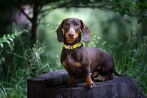 chocolate dachshund dog green garden