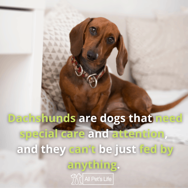 Best Dog Food for Dachshunds dog on the couch