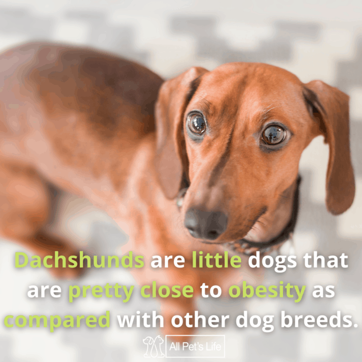 Best Dog Food for Dachshunds: dachshunds are little dogs that are prone to obesity