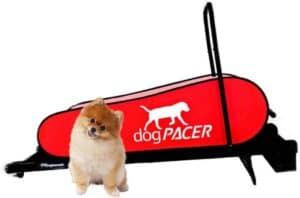 small dog infront of the dogpacer minipacer treadmill