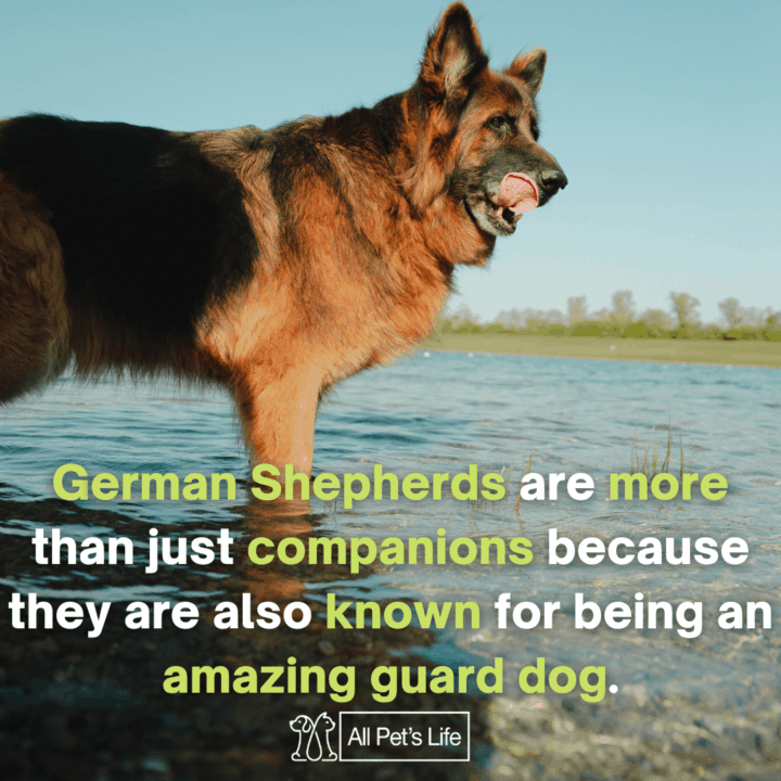 Best Dog Food for German Shepherds: companions and amazing guard dogs