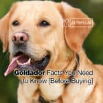 Goldador: 10 Facts You Need to Know Before Buying [2021]