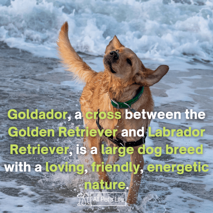 goldador in the ocean