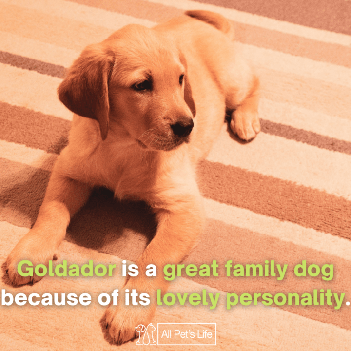 goldador sitting on the ground