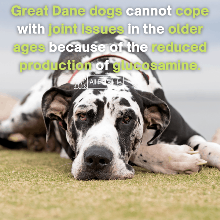 great dane dogs lying down on the grass