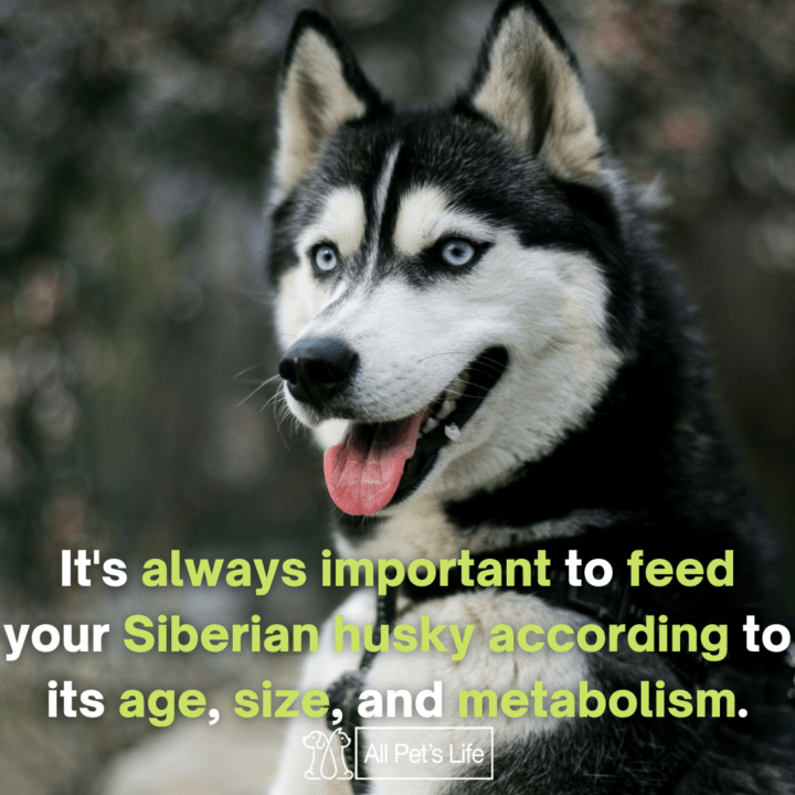 it is always important to feed your siberian husky according to its age size and metabolism