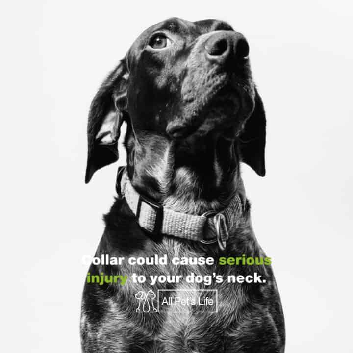 leather dog harness injury