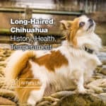 Long Haired Chihuahua [2021]: Health, History, Temperament