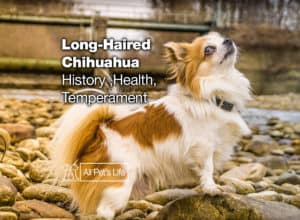 Read more about the article Long Haired Chihuahua [2021]: Health, History, Temperament
