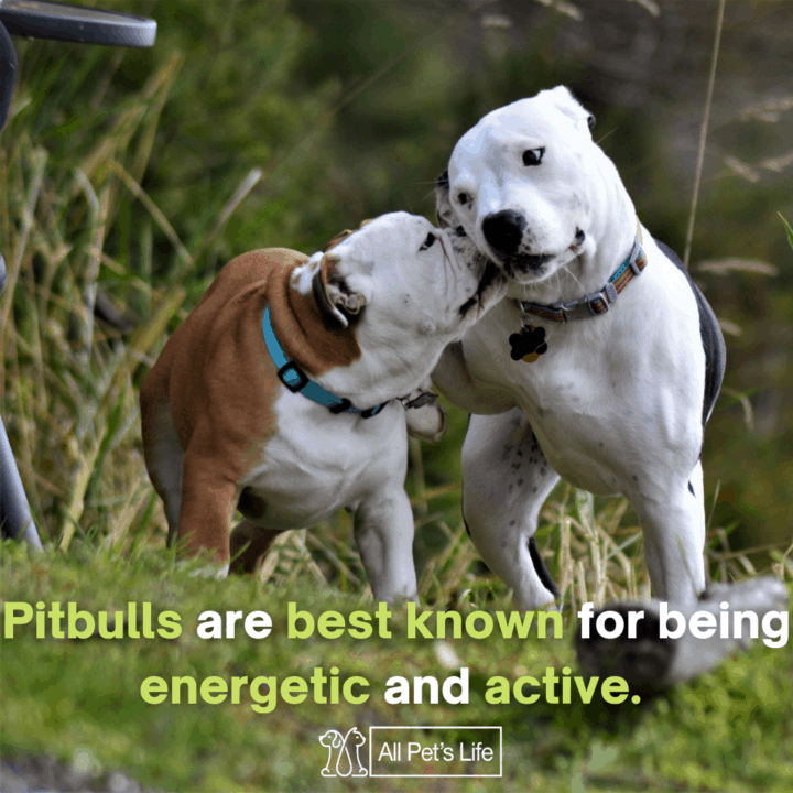 two pitbulls playing with each other