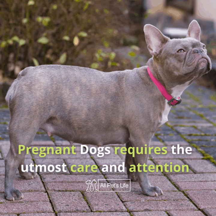 pregnant dogs standing on the ground