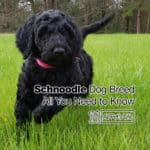Schnoodle Dog Breed: All You Need to Know [2021 update]