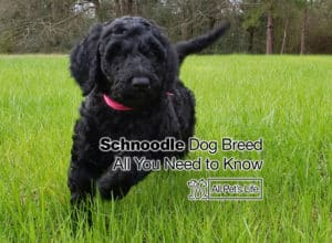 Read more about the article Schnoodle Dog Breed: All You Need to Know [2021 update]