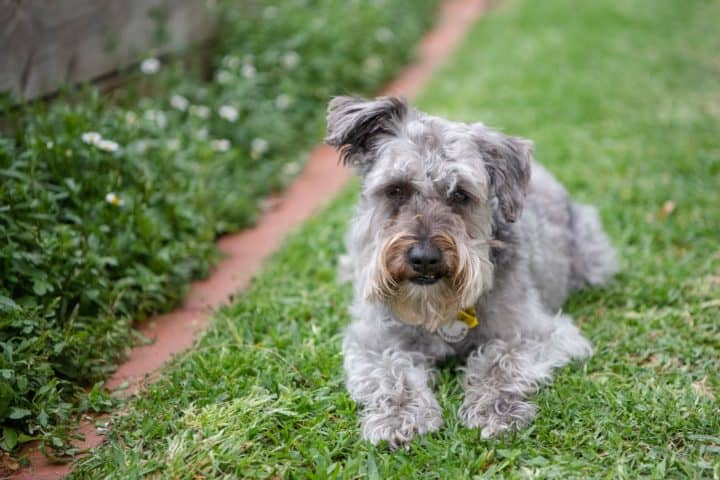 schnoodle laying down