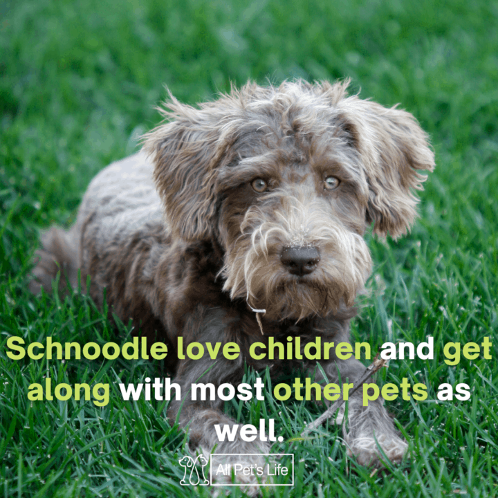 Schnoodle dog sitting on the grass