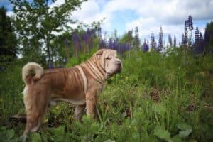 how long do dogs live shar pei breed dog