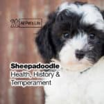 Sheepadoodle [2021]: Health, History, Temperament