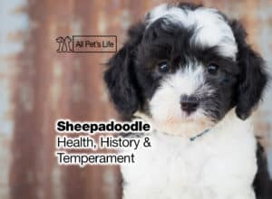 Read more about the article Sheepadoodle [2021]: Health, History, Temperament