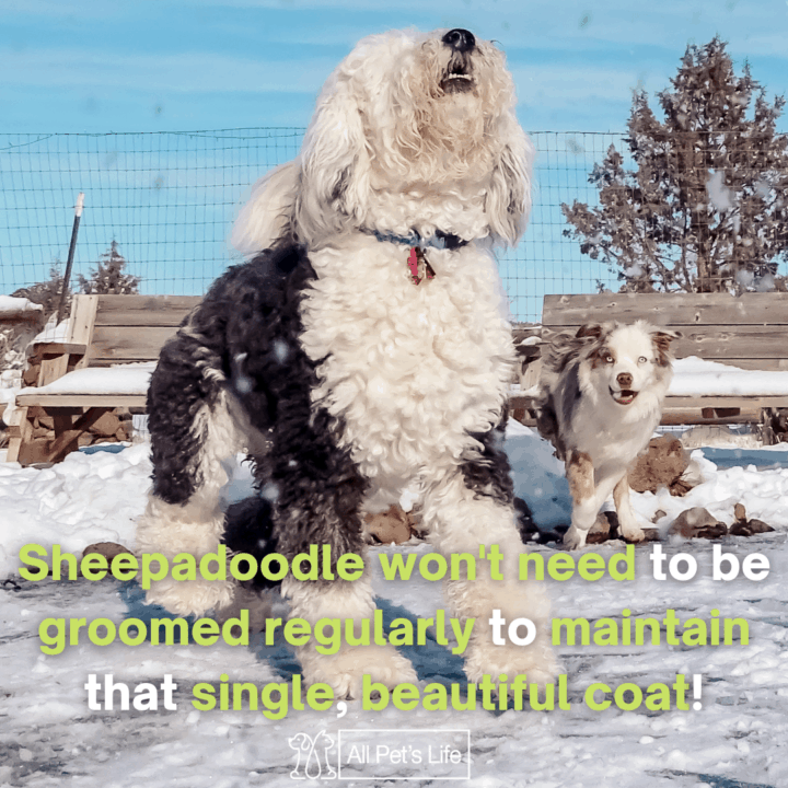 sheepadoodle playing on the snow