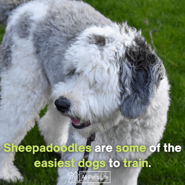 sheepadoodle walking on the grass