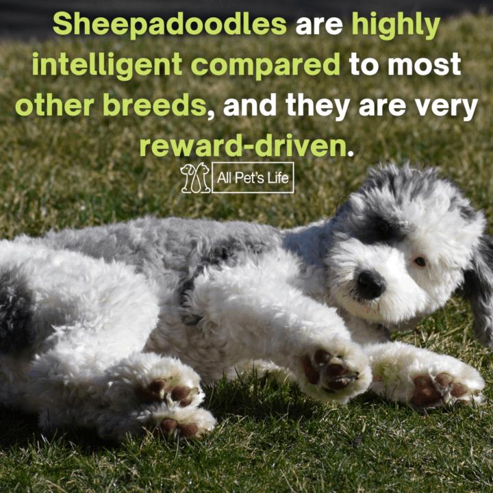 sheepadoodles lying down the grass