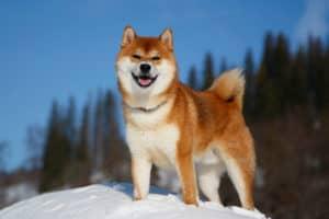 shiba inu outdoors winter how long do dogs live
