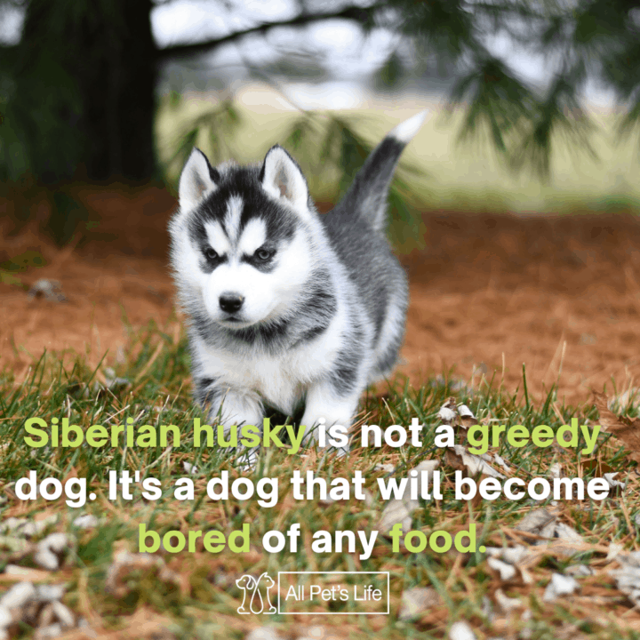 siberian husky is not a greedy dog its a dog that will become bored of any food
