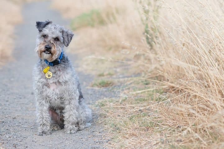 sitting schnoodle