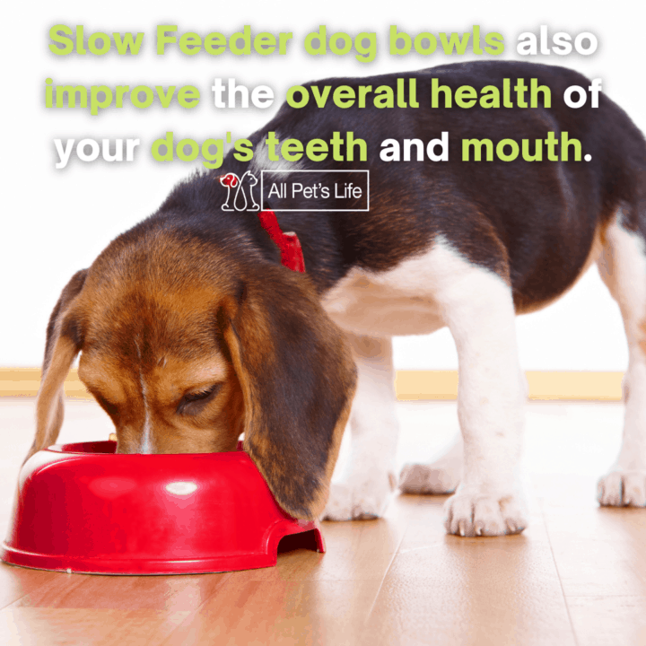 beagle eating in a slow feeder dog bowls