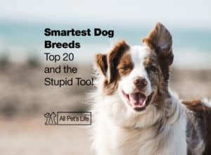 Read more about the article Smartest Dog Breeds: Top 20 + the Stupid Too! [2 Infographics]