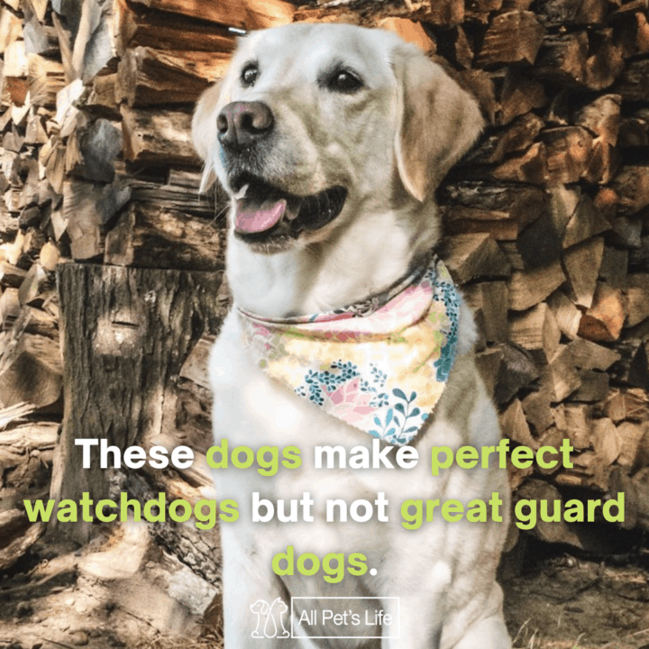 these dogs make perfect watchdogs but not great guard dogs