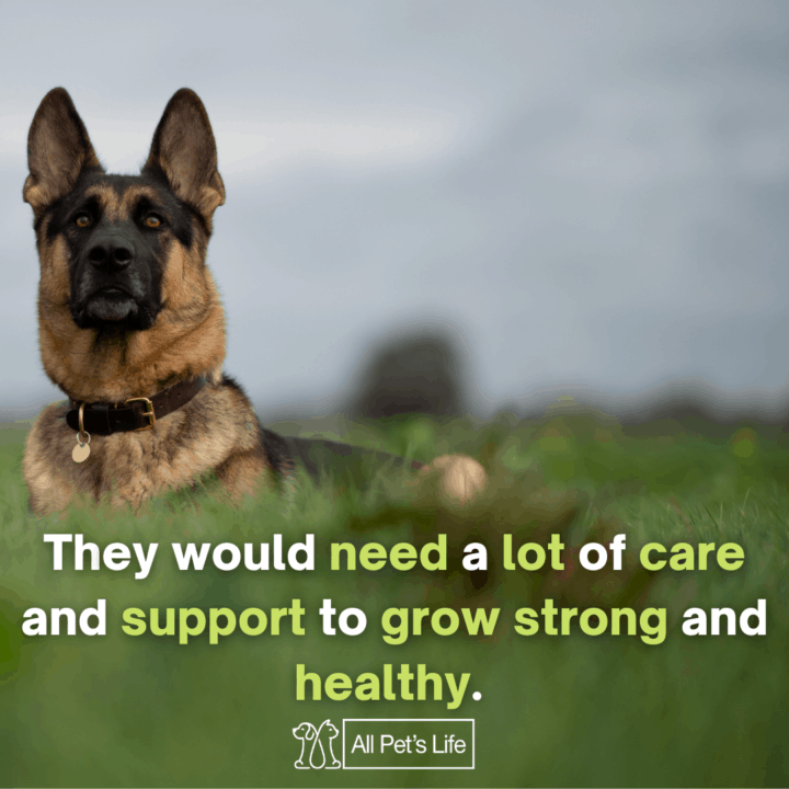 Best Dog Food for German Shepherds: they would need a lot of care and support to grow strong and healthy