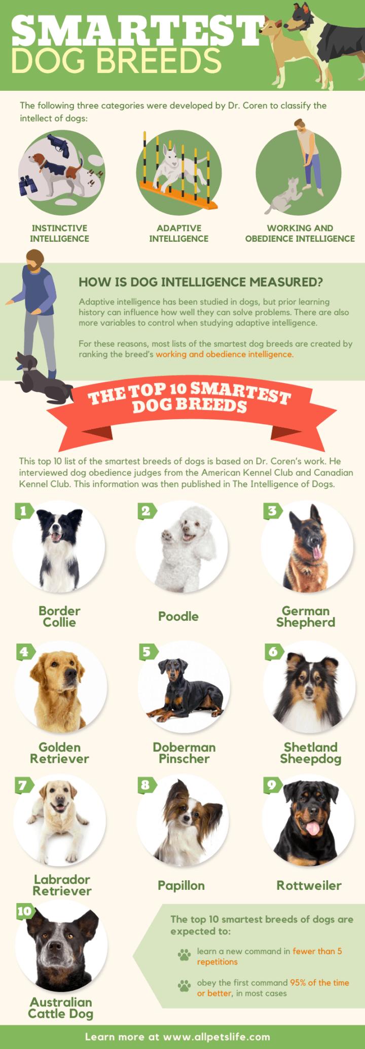 top 10 smartest dog breeds infographic