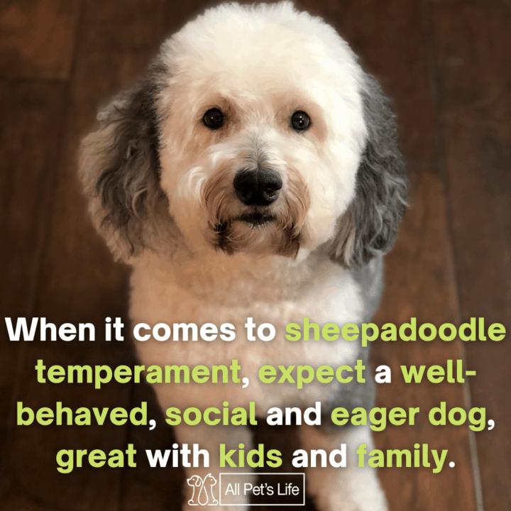 sheepadoodle sitting