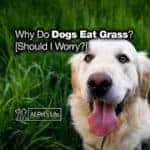 Why Do Dogs Eat Grass and Weeds? [Should I Worry?]