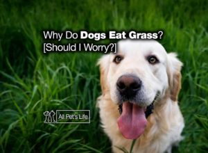 Read more about the article Why Do Dogs Eat Grass and Weeds? [Should I Worry?]