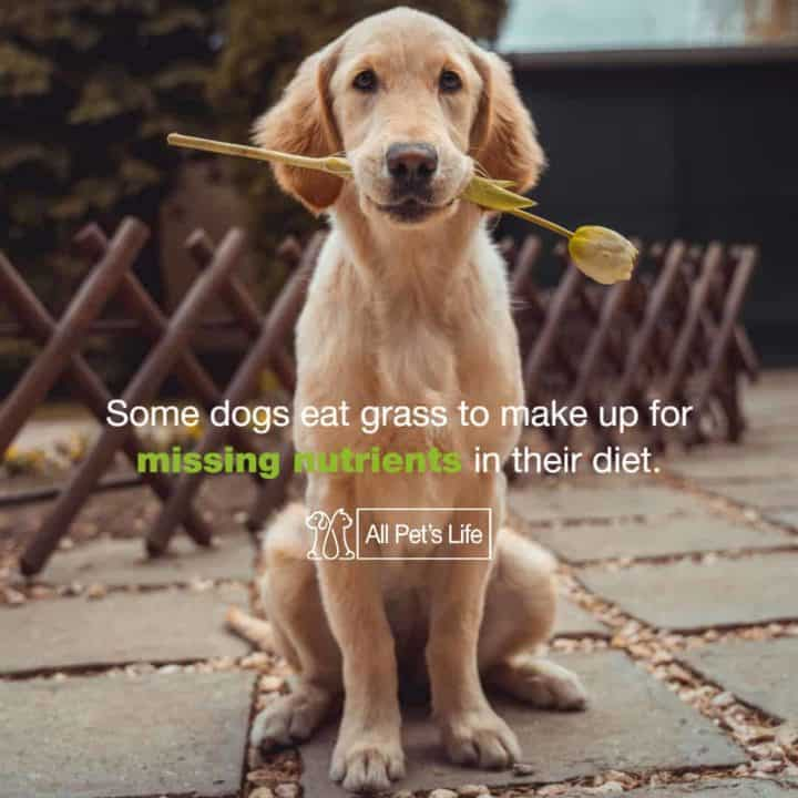 why do dogs eat grass nutrients